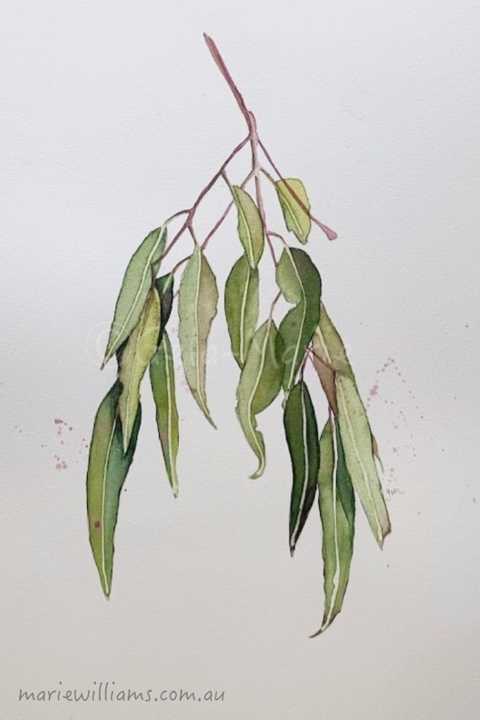 Red Ironbark Gum leaves. Botanical Art by Gela-Marie Williams
