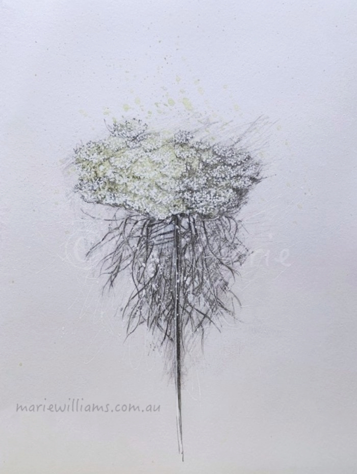 Queen Anne's Lace. Botanical Art by Gela-Marie Williams